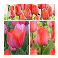 Tulip - Orange  Van Eijk